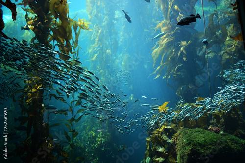 Fotografie, Obraz kelp forest views from below