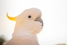 Cockatoo Parrot On White Backg...
