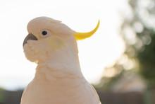 Portrait Of A Cockatoo Sunshin...