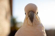 Close Up Of A Cockatoo Bird He...