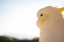 Portrait Of A Cockatoo Sun Lig...