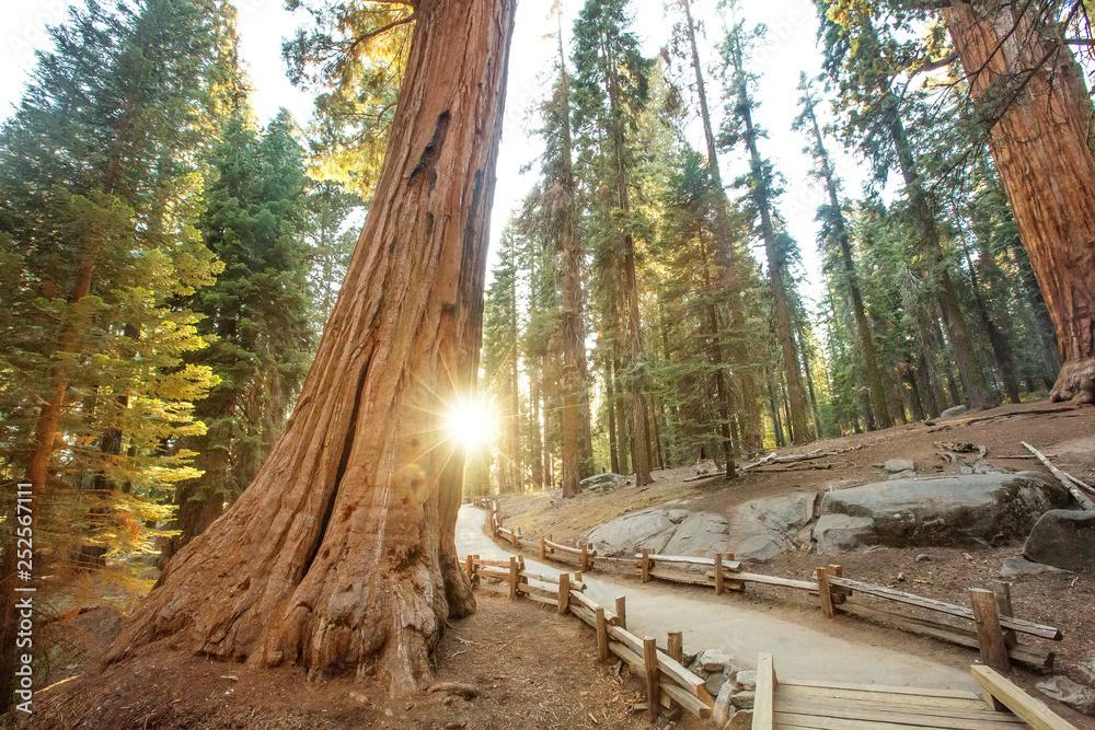 Fototapeta Sunset in Sequoia national park in California, USA