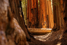 Hiker In Sequoia National Park...