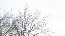 Dried Pecan Tree Branches In An Overcast Sky For Isolation