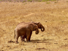 An Herd Of Elephants Is Savage And Pounding In Safari In Kenya, Africa. Trees And Grass.