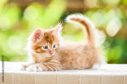 Photo  adorable playful red orange fluffy kitten on sunny day