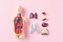 Human Anatomy Mannequin With Internal Organs On A Pink Background Top View