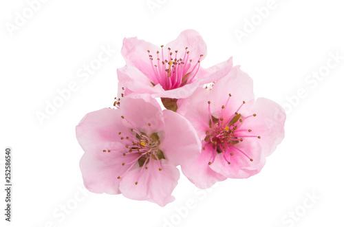 sakura flowers isolated Canvas Print