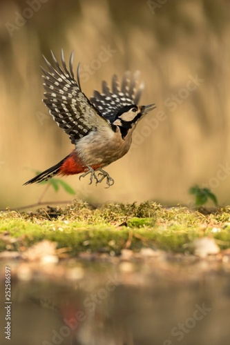 Fotografie, Obraz  Woodpecker taking off lichen shore of pond water in forest with bokeh background