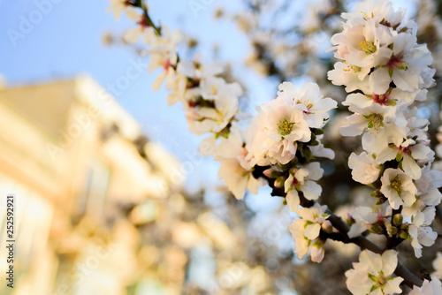 Photo  Almond tree flowers