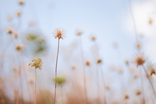 Dry Grassy Flowers On Blurred Background Amd Soft Sunlight In The Sky