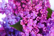 spring lilac flowers. Macro image of spring lilac violet flowers