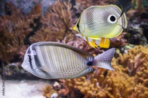 Ryba rafa koralowa pływająca w akwarium