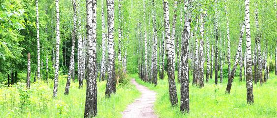 FototapetaBeautiful birch trees with white birch bark in birch grove