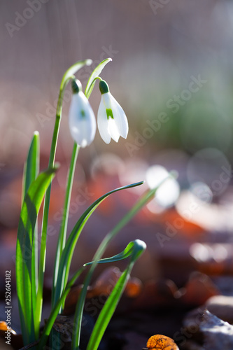 Fototapeta  Spring flower snowdrop is the first flower in the end of winter and the beginning of spring. obraz na płótnie