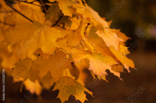 Tuinposter Meloen Yellow maple leaves in autumn park in Moscow