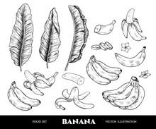 Vector Banana Hand Drawn Sketch.  Sketch Vector Food Illustration. Vintage Style