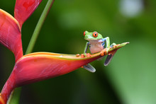 Red-Eyed Leaf Frog On Flower