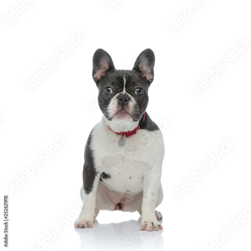 La pose en embrasure Bouledogue français french bulldog puppy with red dog collar sitting