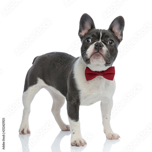 Photo french bulldog with red bowtie looking away