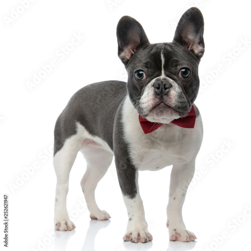 Poster Bouledogue français french bulldog with red bowtie standing