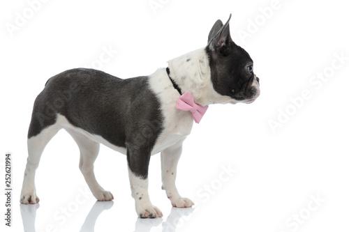 Fényképezés french bulldog looking away wearing a pink bowtie