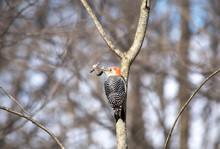 Red Bellied Woodpecker On A Tree
