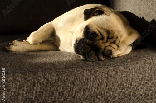 Fotografie, Obraz  Cute small dog breed pug sleeping on sofa