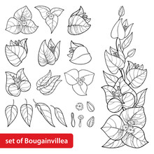 Set With Outline Bougainvillea Or Buganvilla Flower Bunch With Bud And Leaf In Black Isolated On White Background.