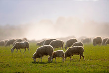 Image Of A Flock Of Sheep