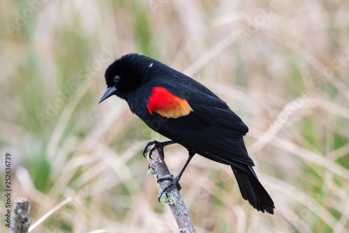 Photo Red winged blackbird on a stick.
