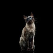 Siamese Cat On A Black