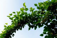 Fresh Green Mulberry Leaves Under The Blue Sky