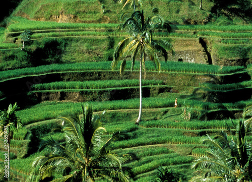 Photo Stands Bali Unesco World Heritage: The Rice terraces of Banaue on the Island Luzon in the Region of Ifugao.
