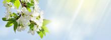 Apple Blossom Spring Tree