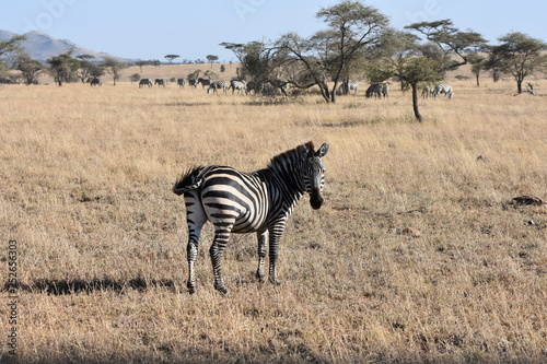 Zebra in Serengeti National Park, Tanzania
