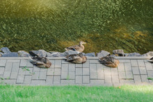 A Few Ducks Resting By The Lake.