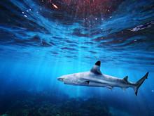 Blacktip Reef Shark Swiming In...