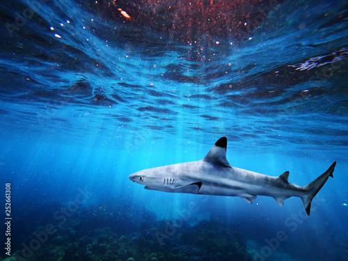 Rekin rafa Blacktip pływanie w głębokim błękitnym morzu z promieniami światła pod wodą