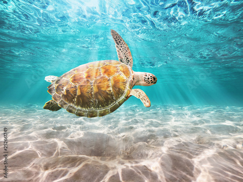 Sea Turtle swiming in underwater