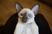 Chocolate Point Siamese Cat Wi...