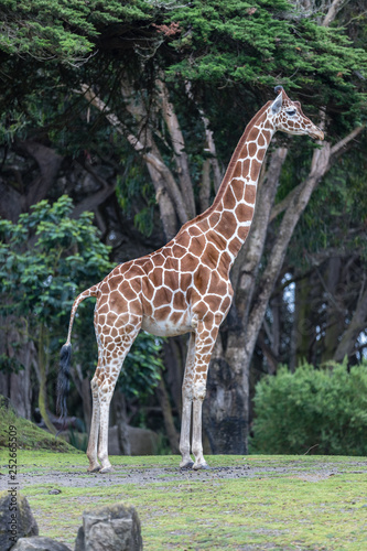 Giraffe poses for a perfect profile at the San Francisco Zoo