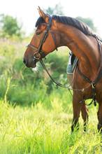 Portrait Of Sportive Horse In Meadow