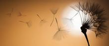 Flying Dandelion Seeds On A Su...