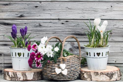 Frühlingserwachen mit Krokus rustikal vor Holzhintergrund