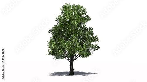 Pinturas sobre lienzo  Sugar Maple tree with shadow on the floor - separated on white background