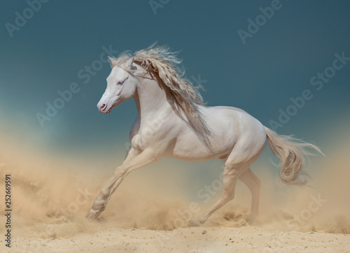 Obraz na plátně Palomino pony in dust running