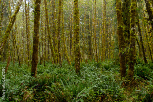 Fotografie, Obraz  Misty Green Forest with Ferns Covering Ground