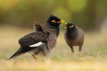 Common Myna (Acridotheres Tristis) On The Grass. Barracuda Beach. UAE