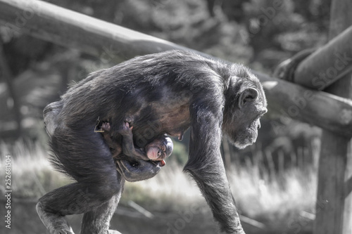 Photo mother chimpanzee carrying its baby and walking around